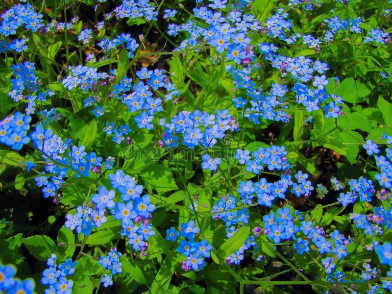 Vergeet me niet blauwe bloemen royalty-vrije stock foto's