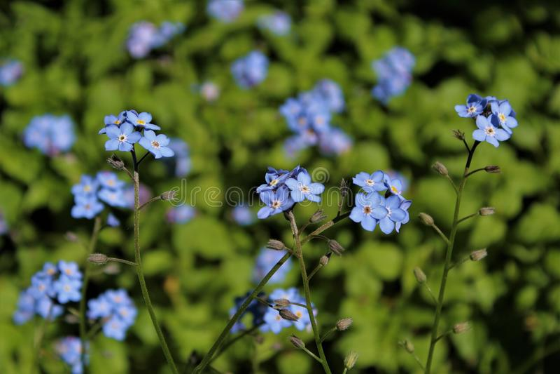 Vergeet me niet bloemen in bloei in de lente stock afbeeldingen
