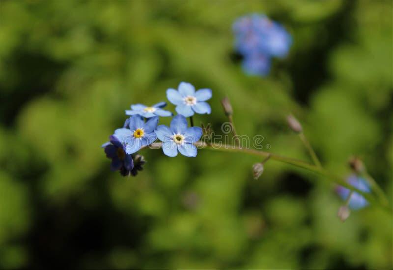 Vergeet me niet bloemen in bloei in de lente royalty-vrije stock foto