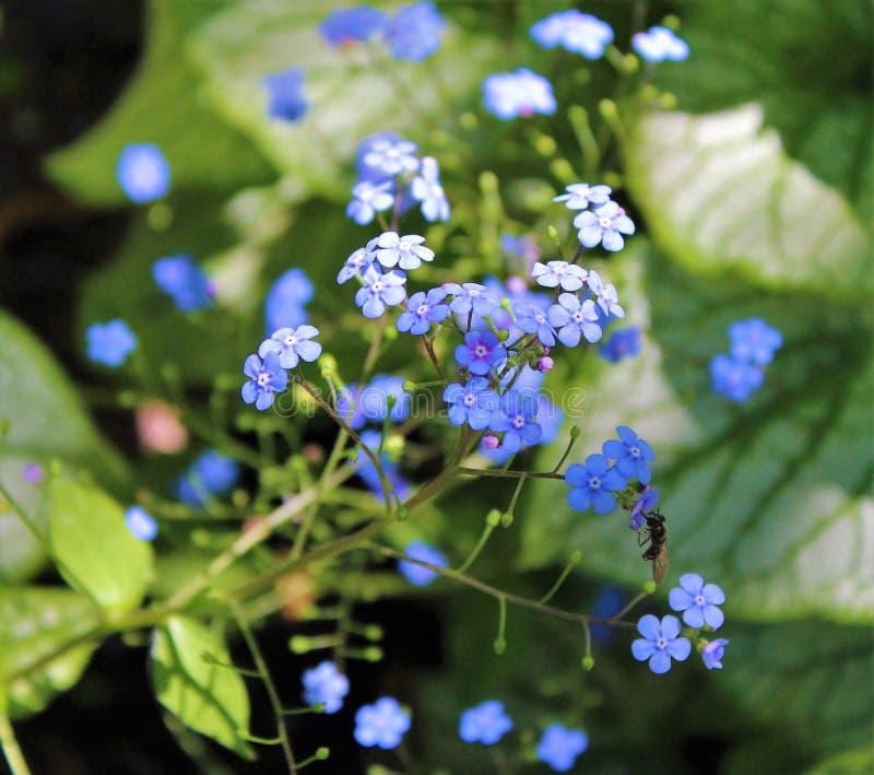 Vergeet me niet bloemen in bloei in de lente royalty-vrije stock afbeeldingen
