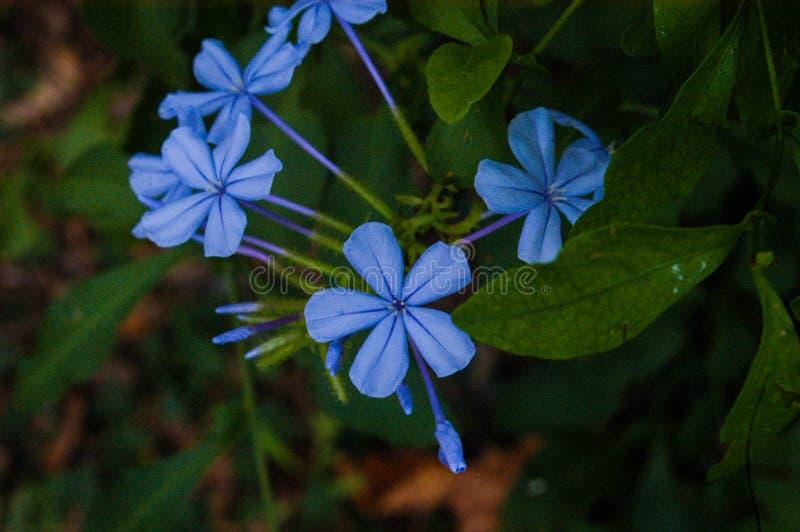 Vergeet-mij-nietje lichtblauwe bloemen royalty-vrije stock fotografie