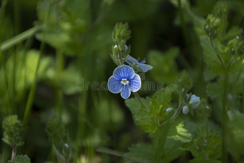 Vergeet-mij-nietje Myosotis bloeiende installaties, Boraginaceae, Blauwe bloem in aard royalty-vrije stock foto's