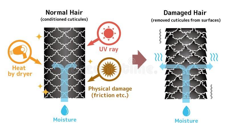 Vergelijkende illustratie van gezond haar en beschadigd haar vector illustratie