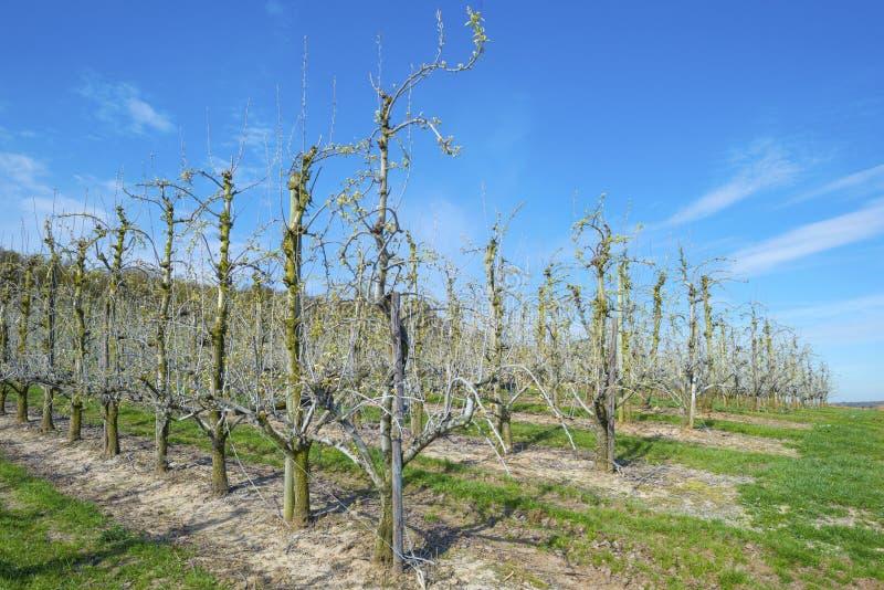 Verger avec les arbres fruitiers dans le bourgeon photos libres de droits