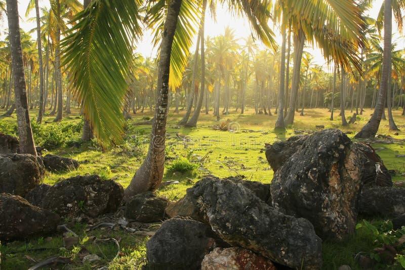 Verger d'arbres de noix de coco, plage de Las Galeras, péninsule de Samana images libres de droits