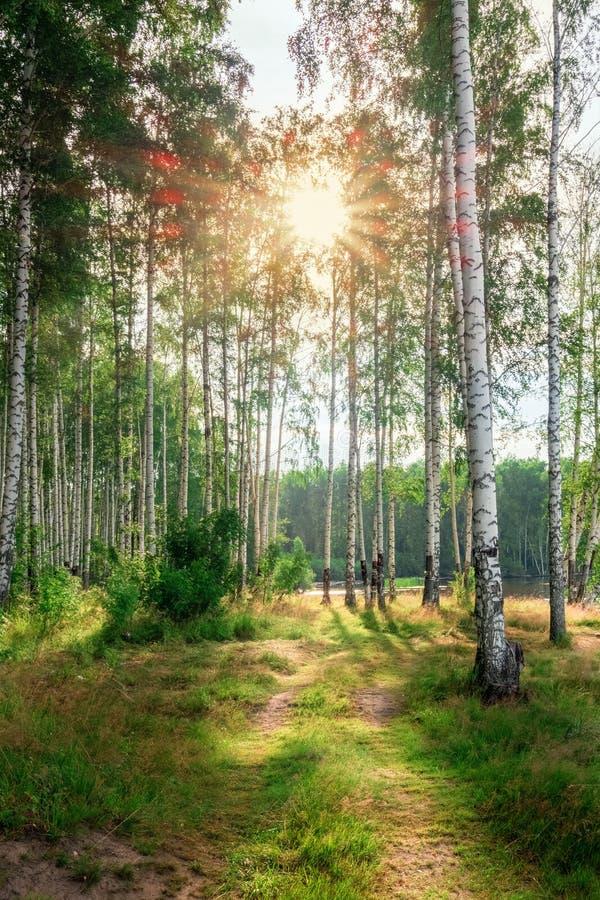 Verger de bouleau à la lumière du soleil de matin photo libre de droits