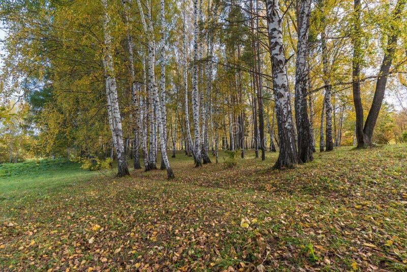 Verger de bouleau avec le feuillage tôt d'automne un jour ensoleillé photo libre de droits