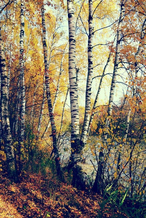 Verger de bouleau sur le bord de lac du lac de forêt avec le style d'Instagram photo libre de droits