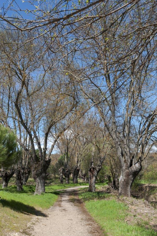 Verger de cendre à côté de la rivière Manzanares photo stock