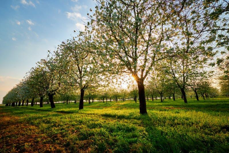 Verger de cerise au coucher du soleil, vue de ressort du jardin de floraison images stock