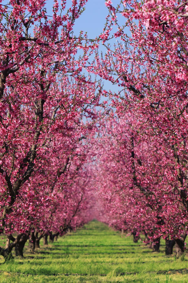 Verger de cerise au printemps photographie stock