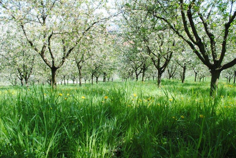 Verger de cerise de floraison photos stock