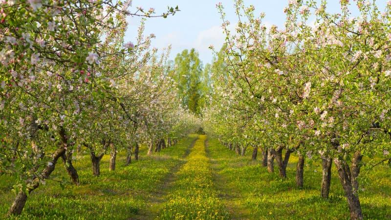 Verger de floraison photo stock