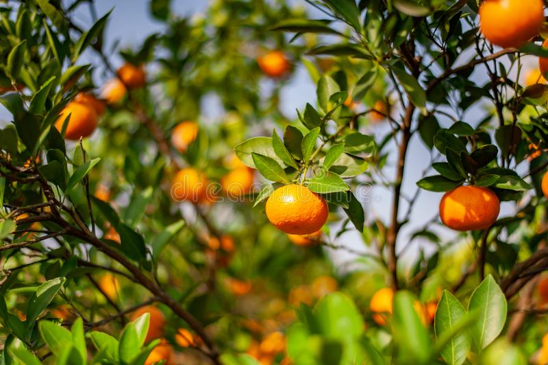 Verger de mandarine avec les fruits mûrs de mandarine image stock