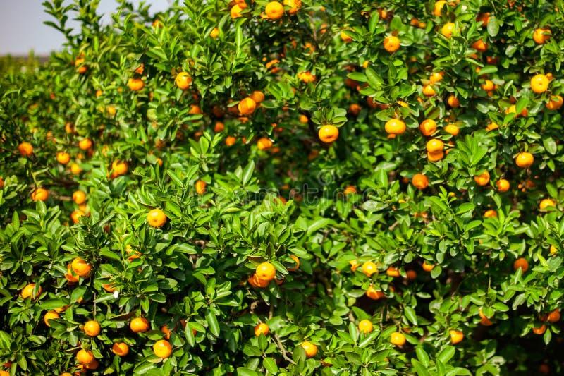 Verger de mandarine avec les fruits mûrs de mandarine images stock