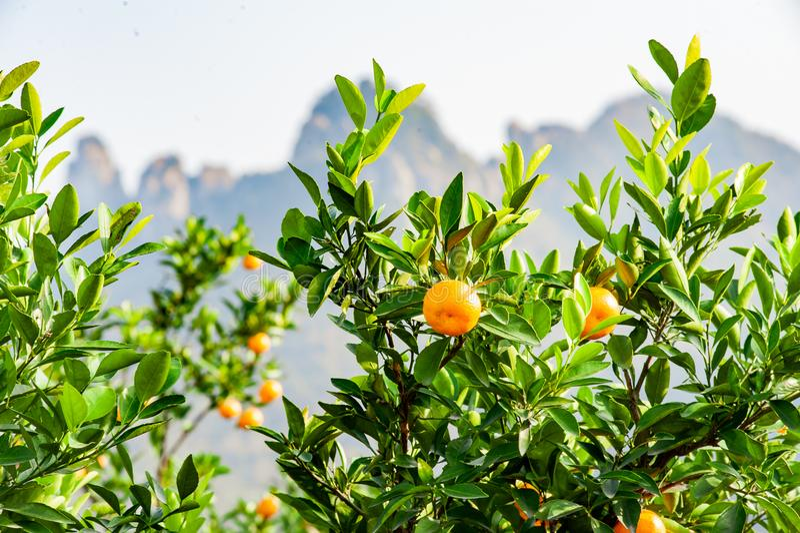 Verger de mandarine avec les fruits mûrs de mandarine photographie stock