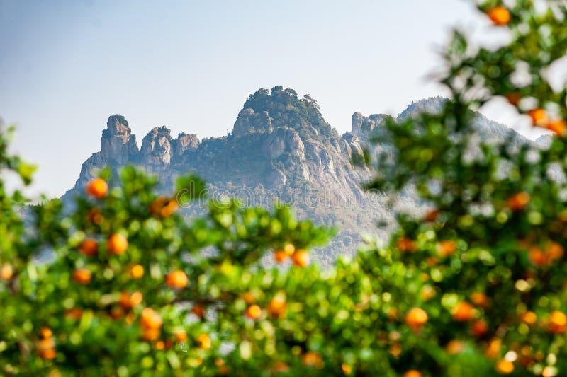 Verger de mandarine avec les fruits mûrs de mandarine photos libres de droits