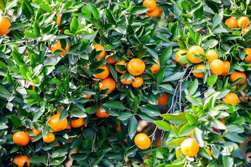 Verger de mandarine avec les fruits mûrs de mandarine image libre de droits
