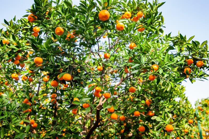 Verger de mandarine avec les fruits mûrs de mandarine photo libre de droits