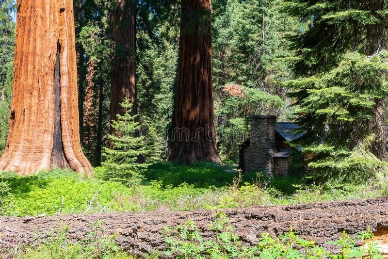 Verger de Mariposa, parc national de Yosemite, la Californie image libre de droits