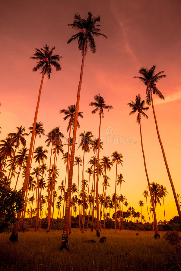Verger de noix de coco images libres de droits