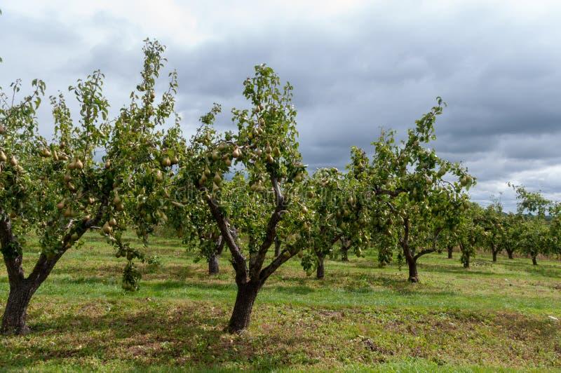 Verger de poire dans Worcestershire images stock