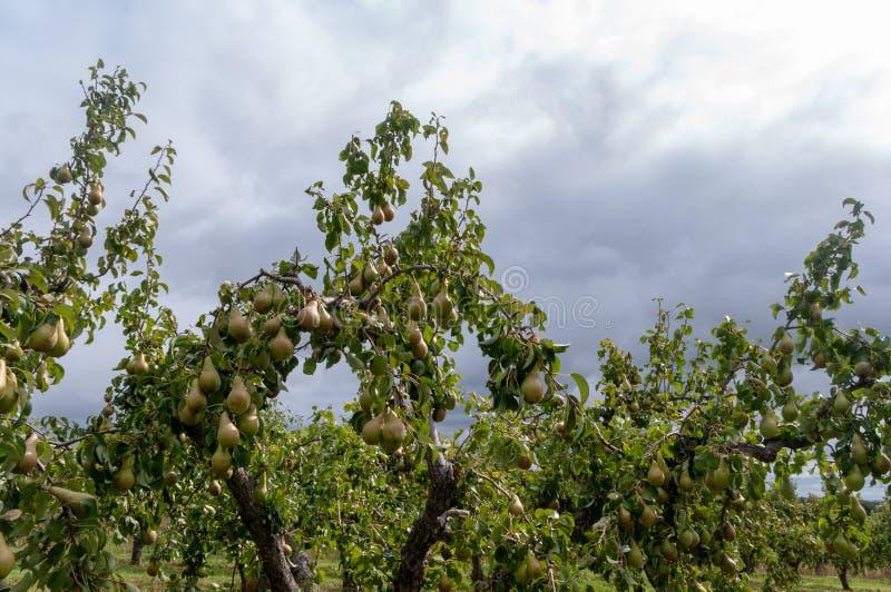 Verger de poire dans Worcestershire photographie stock libre de droits