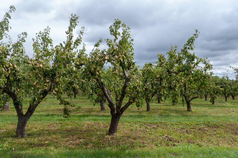 Verger de poire dans Worcestershire photo stock