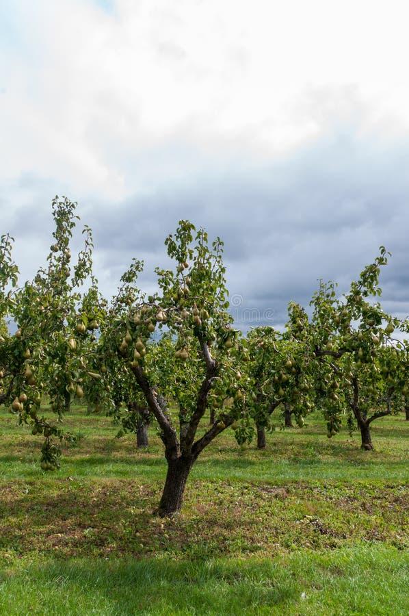 Verger de poire dans Worcestershire image libre de droits