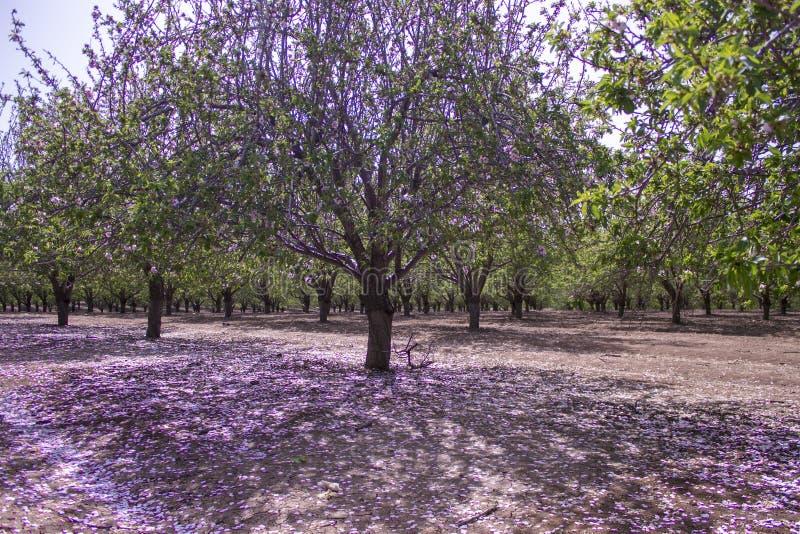 Verger des arbres d'amande photographie stock libre de droits