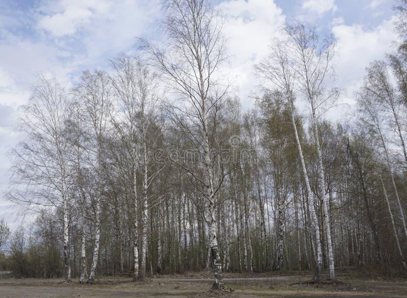 Verger des arbres de bouleau et de l'herbe sèche en automne tôt image libre de droits