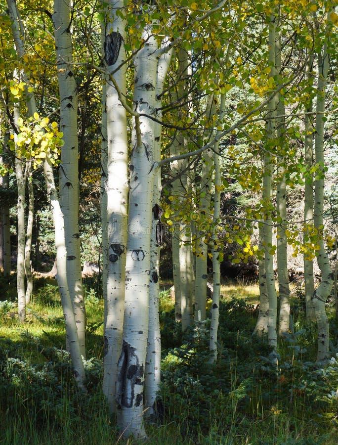 Verger des arbres de tremble blanc image stock