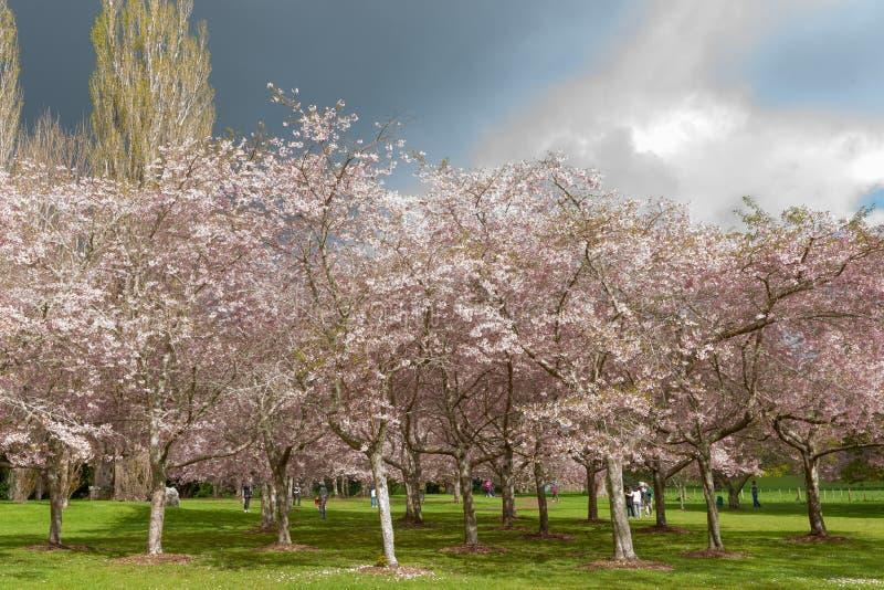 Verger fleurissant de cerisier en parc des Cornouailles d'Auckland images stock