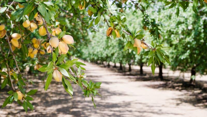 Verger la Californie de production alimentaire d'agriculture de ferme d'arbre Nuts d'amande image libre de droits