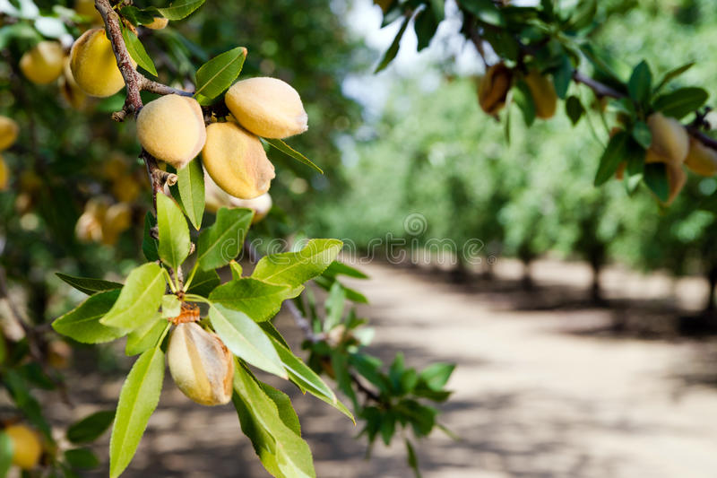 Verger la Californie de production alimentaire d'agriculture de ferme d'arbre Nuts d'amande images libres de droits