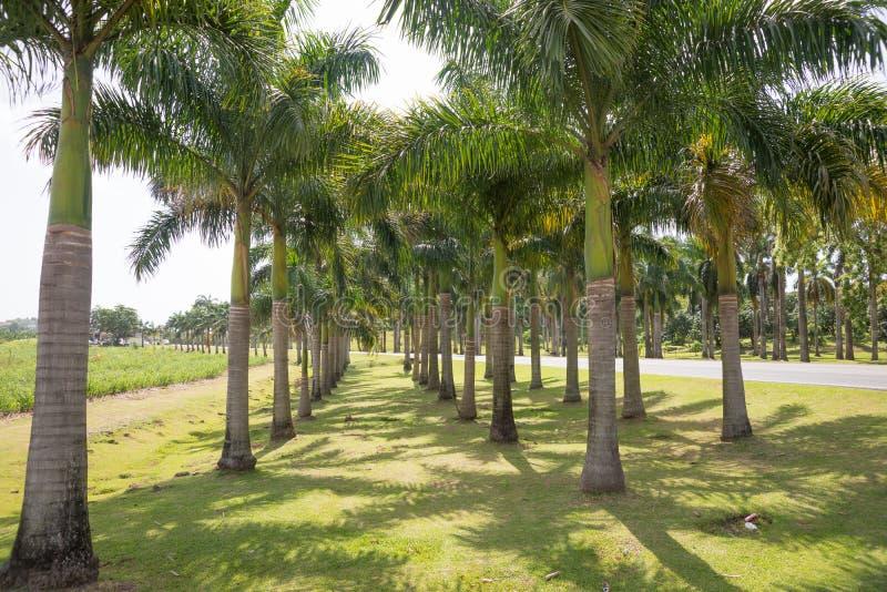 Verger lumineux des palmiers grands photographie stock libre de droits