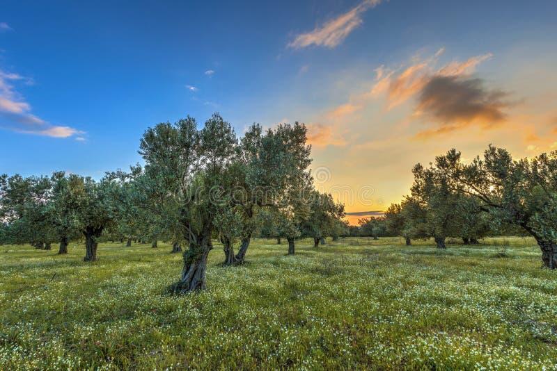 Verger olive au lever de soleil image libre de droits