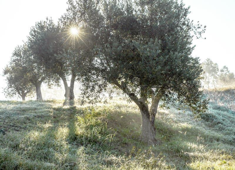 Verger olive brumeux dans la rosée de matin et le paysage flou de lumière du soleil image stock