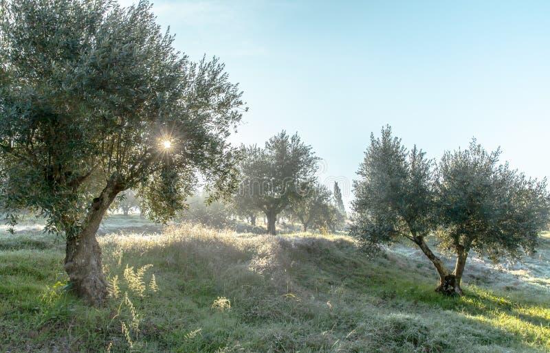 Verger olive brumeux dans la rosée de matin et le paysage flou de lumière du soleil photographie stock