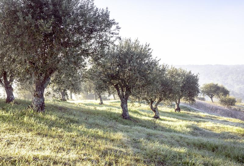 Verger olive brumeux dans la rosée de matin et le paysage flou de lumière du soleil images libres de droits