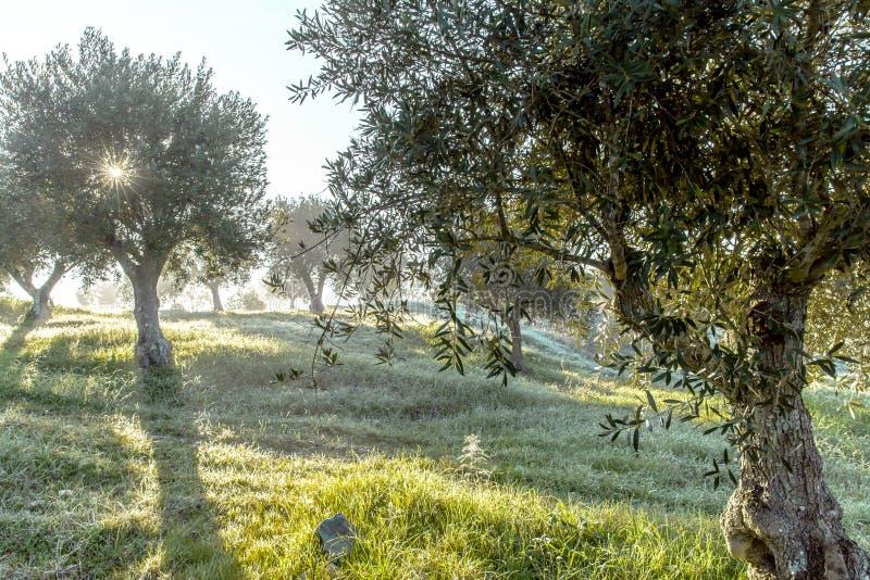 Verger olive brumeux dans la rosée de matin et le paysage flou de lumière du soleil photo stock