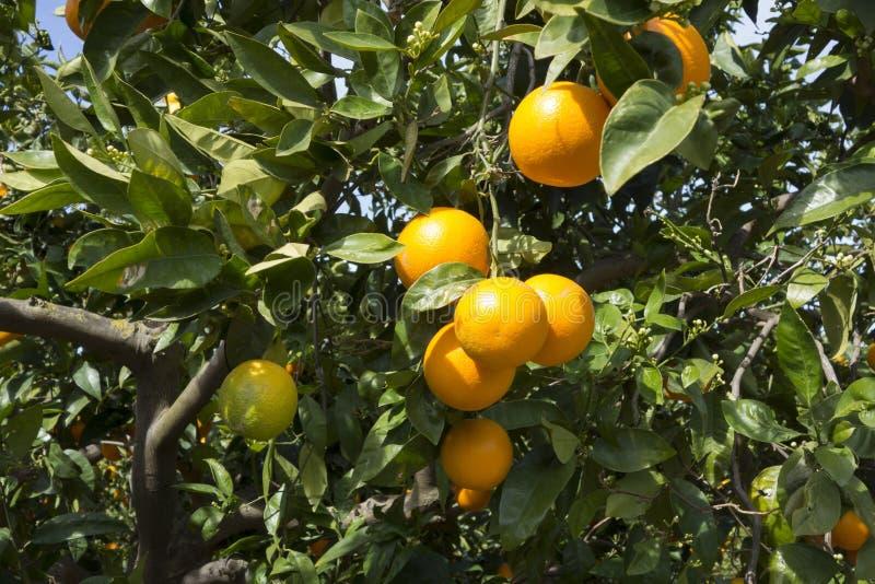 Vergers d'oranges en Espagne du sud images stock