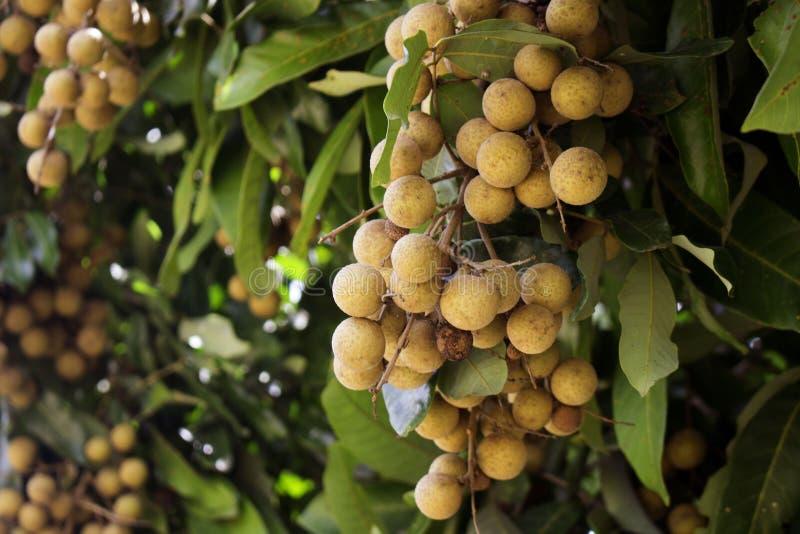Vergers de Longan - beau longan de fruits tropicaux, Thaïlande photo libre de droits