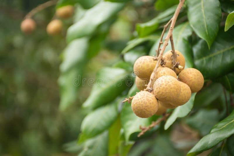 Vergers de Longan - fruits tropicaux photo stock
