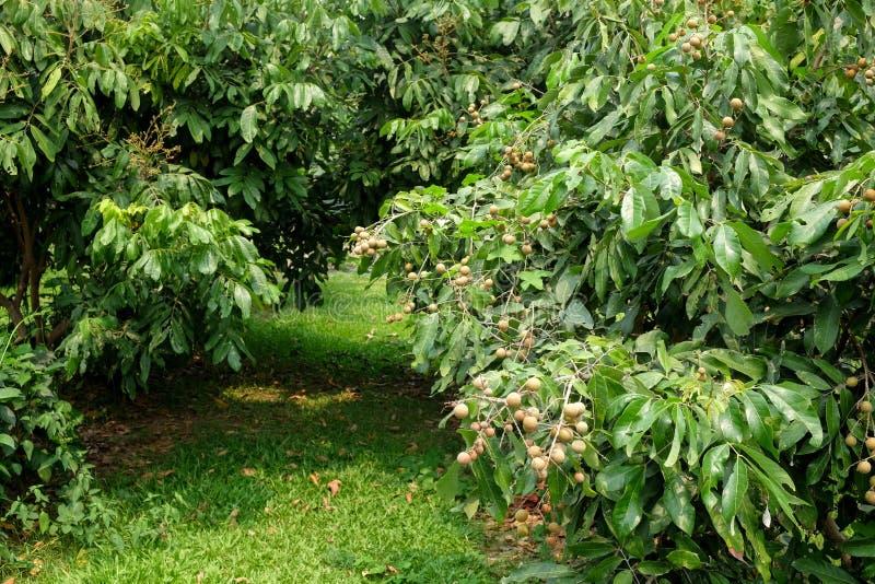 Vergers de Longan - jeune longan de fruits tropicaux dans la ferme de la Thaïlande image libre de droits