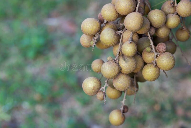 Vergers de Longan - longan de jeunes de fruits tropicaux images libres de droits