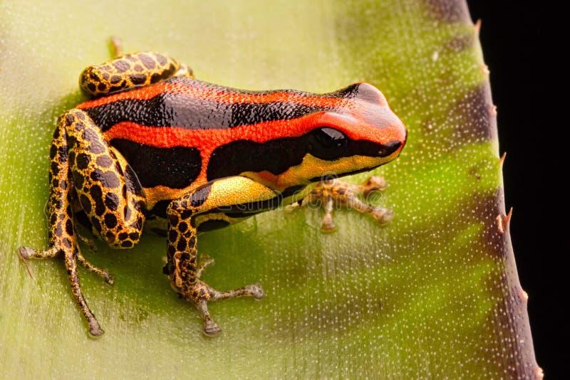 Vergiftpijltje of pijlkikker, Ranitomeya-uakarii gouden benen morph stock foto's