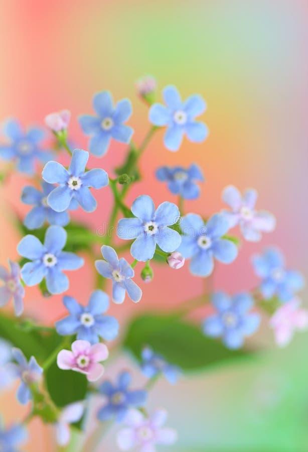Vergissmeinnichtblumen stockfotografie