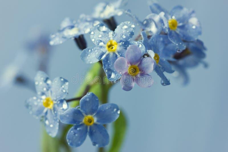 Vergissmeinnichtblumen in den Wassertropfen stockbilder