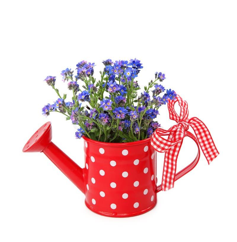 Vergissmeinnichtblumen im roten Watering-can stockfoto